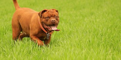 A Brit kutyatáp segít a nagytestű ebeknek